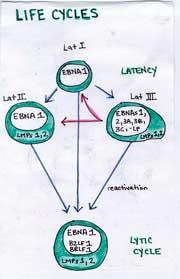 Epstein-Barr virus in chronic fatigue syndrome