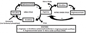 Image showing where the ornithine cycle connects to the citrulline-NO cycle