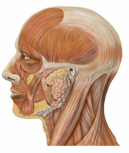 Muscles of the human head. Patrick J. Lynch, medical illustrator