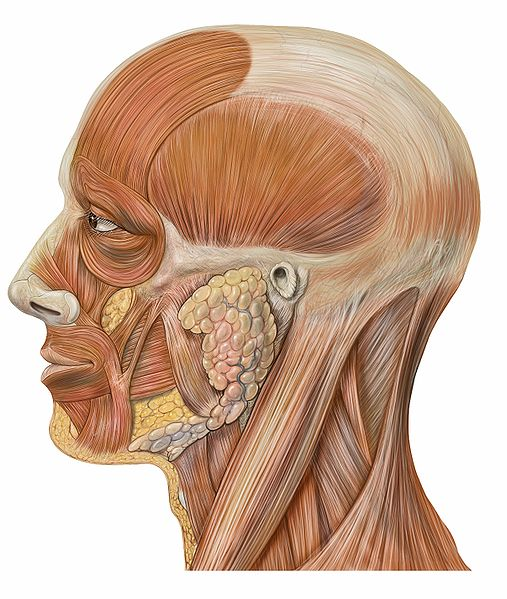 507px Lateral head anatomy