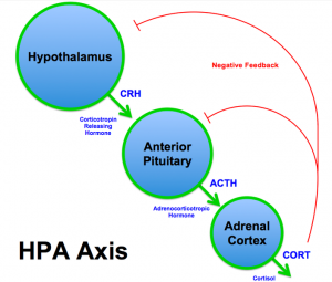 The HPA axis.