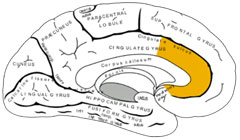 Are anterior cingulate problems in ME/CFS causing problems with heart rate, blood flows and immuneregulation?