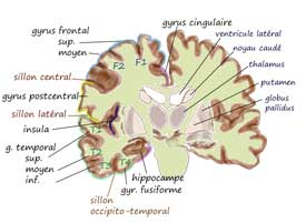 Insula - A key part of the brain in chronic fatigue syndrome and fibromyalgia?