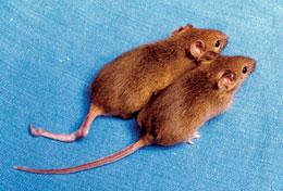 DNA methylation cloned mice