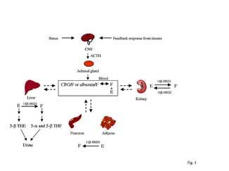 Glucocorticoid Metabolism