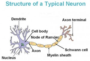 Annotated diagram of a neurone
