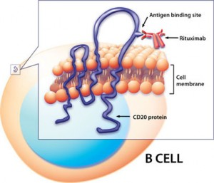 Rituximab in action: binds to CD20 protein on the B-cell surface, triggering cell death. Credit: NIAID