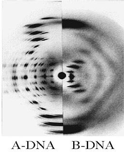 The very different x-ray diffraction patterns of A & B DNA. By I.C. Baianu et al. [GFDL (http://www.gnu.org/copyleft/fdl.html) or CC-BY-SA-3.0 (http://creativecommons.org/licenses/by-sa/3.0/)], via Wikimedia Commons