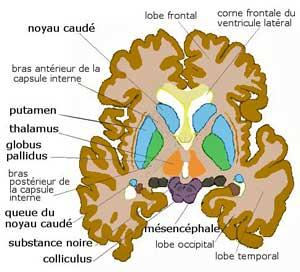 basal ganglia Wiki