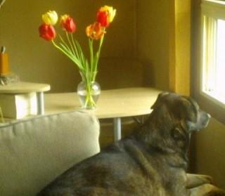 cleo-tulips