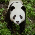 no, not that type of panda