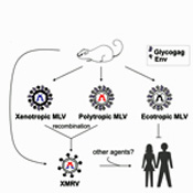 Mlv's and XMRV  in CFS