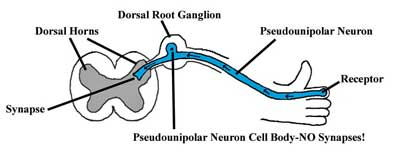 Dorsal Root Ganglia - Ground Zero for chronic fatigue syndrome?